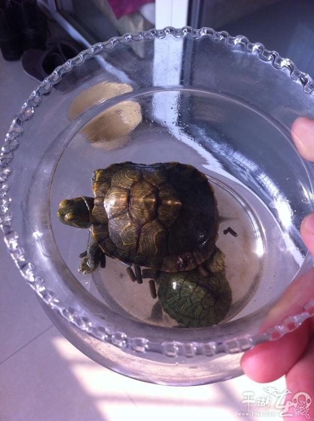 求巴西龟饲养方法 家有宠物图片